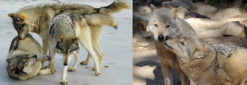 Lupi e cani: uguali davvero? Fino a che punto?