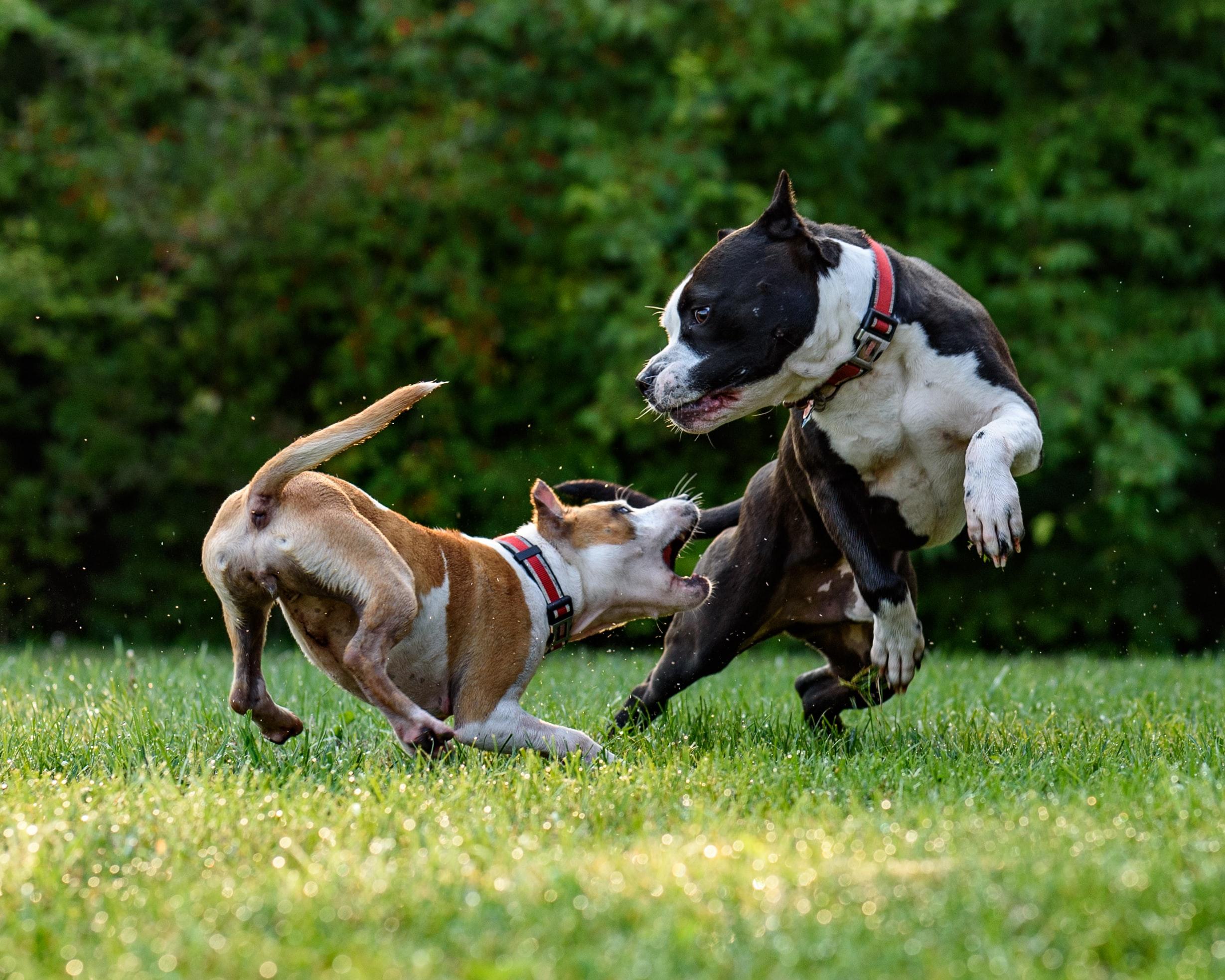 Come gestire una rissa tra due cani