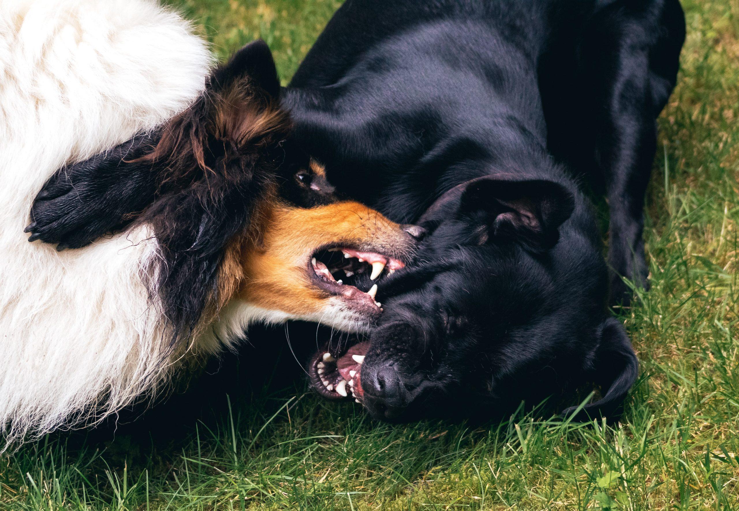 Perché il mio cane va in conflitto con gli altri cani?